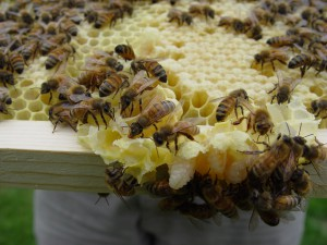 A beekeeper shows off the larvae and honey from one of his hives. (Photo by mazaletel, via Creative Commons.)
