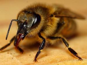 Honeybee insect apis mellifera